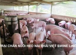 Trang trại chăn nuôi heo giống CN Thái Việt Swine Line (04/2014)